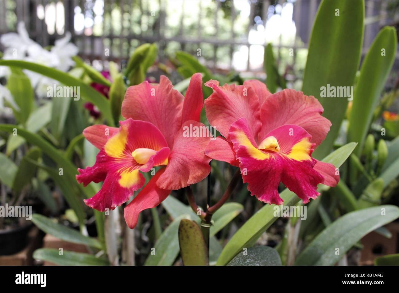 Flor Orquídeas Cattleyas Roxas Stock Photo 231031251 Alamy