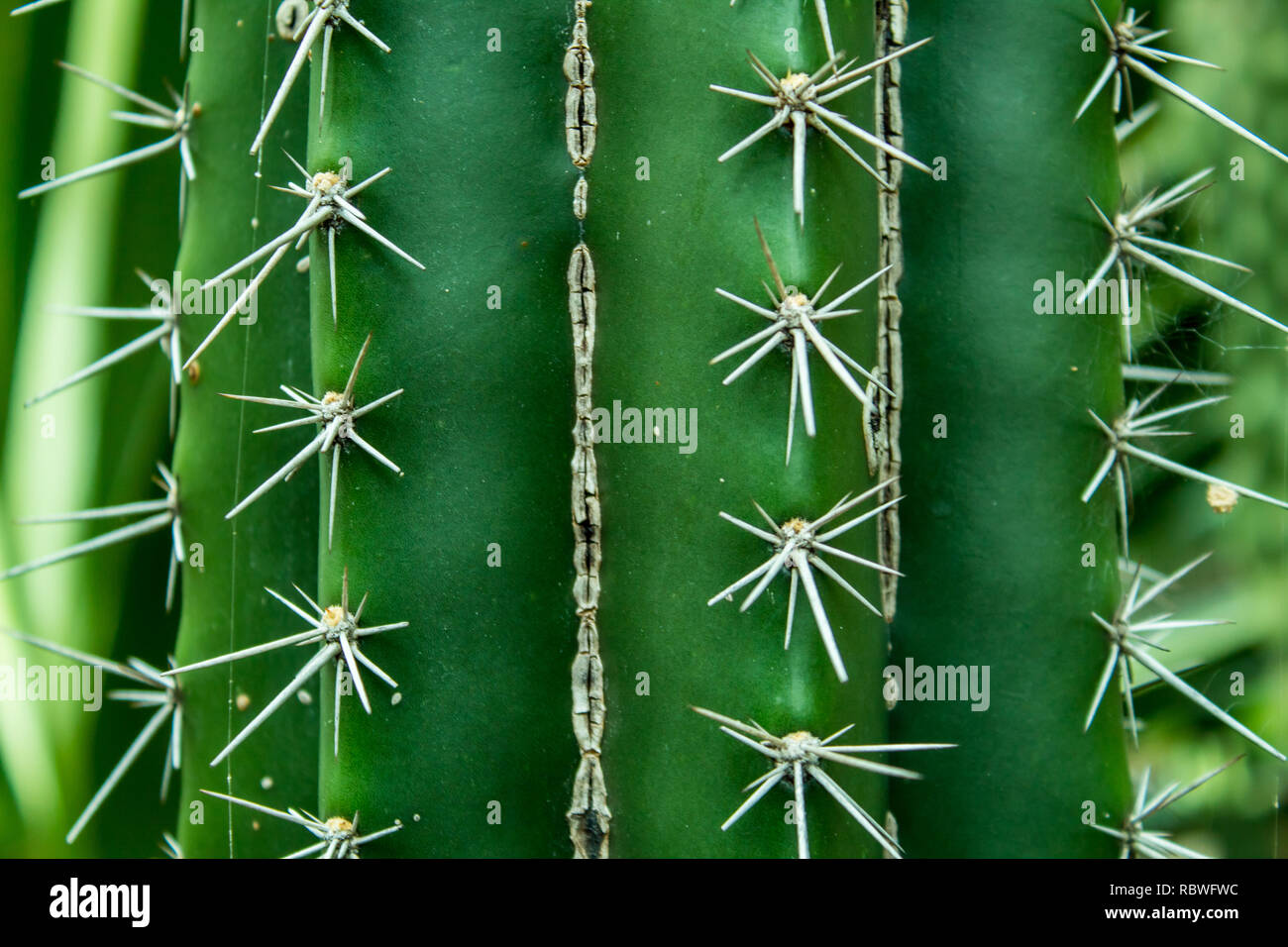 A nice closeup photo of a cactus. Costa Rica - Stock Image