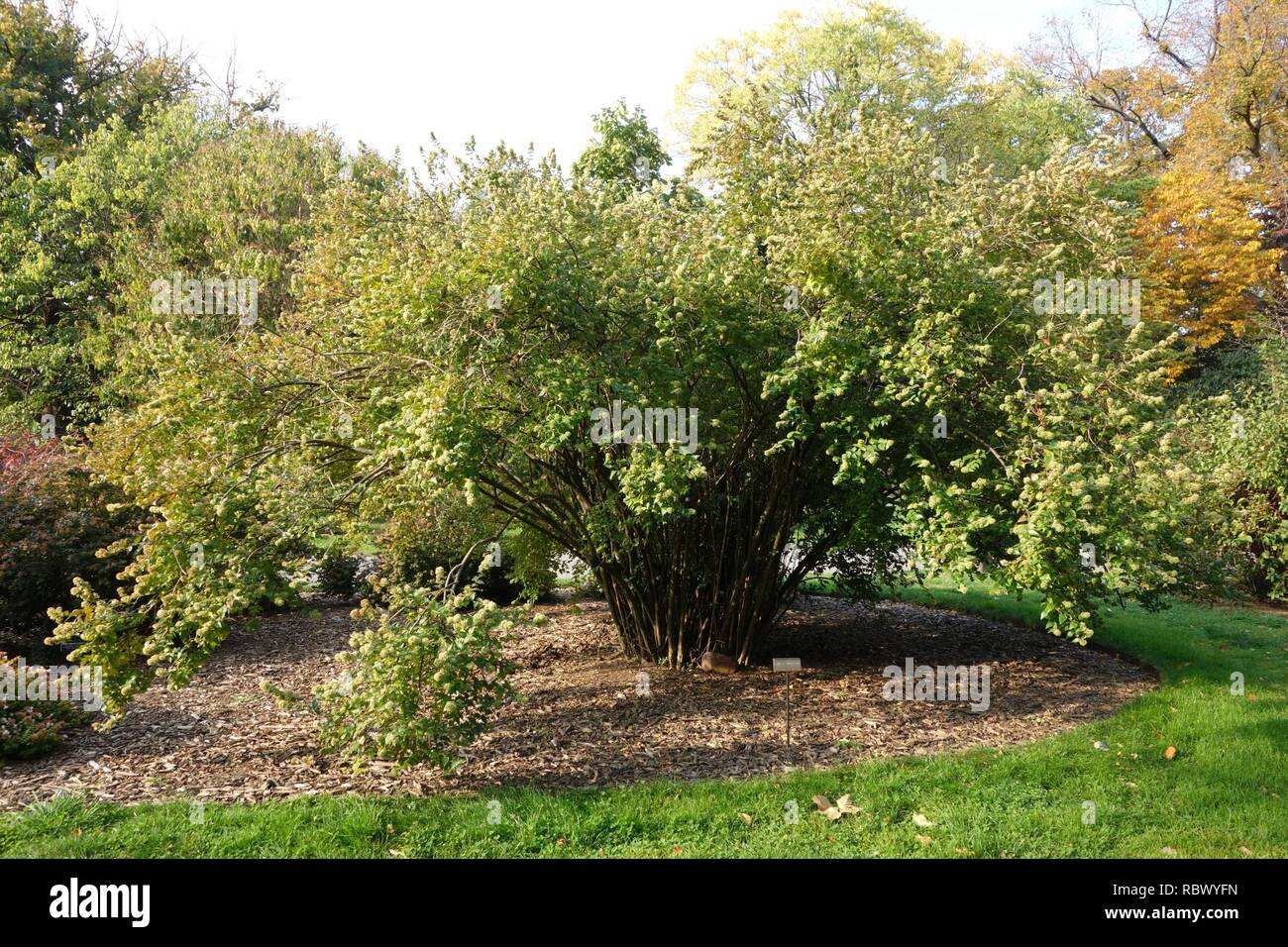 Abelia Chinensis Brooklyn Botanic Garden Brooklyn Ny Dsc07951