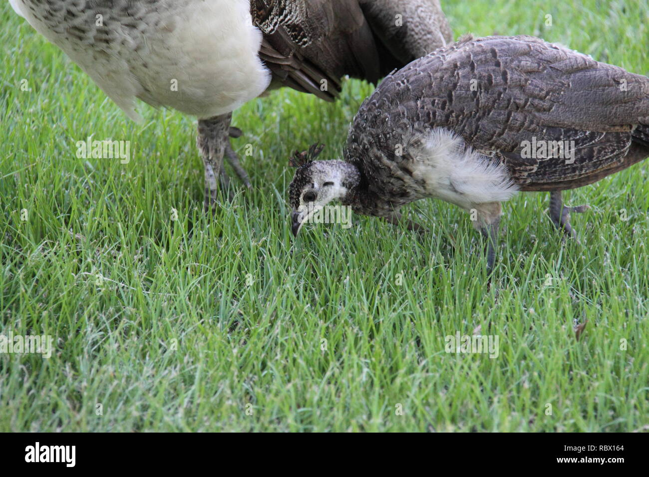 Peacock Chick (Pavo Cristatus) Foraging next to Mother Peahen - Stock Image
