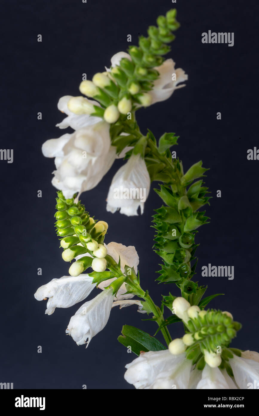 Fine art still life colorful macro image of a green white curved false  dragonhead/obedient/obedience plant on blue paper background - Stock Image