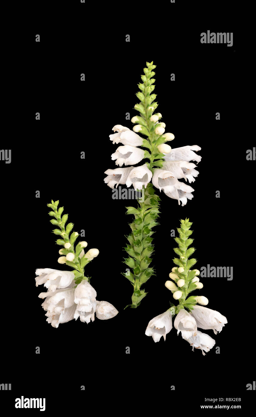 Fine art still life colorful macro image of three blossoms of a green white false  dragonhead/obedient/obedience plant on black background - Stock Image