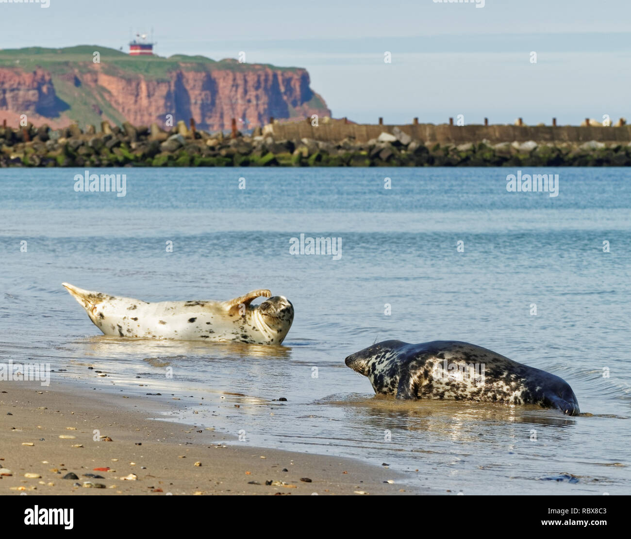 Two gray seals on the beach of the german North Sea island Helgoland, in the background the red steep bank can be seen - Stock Image