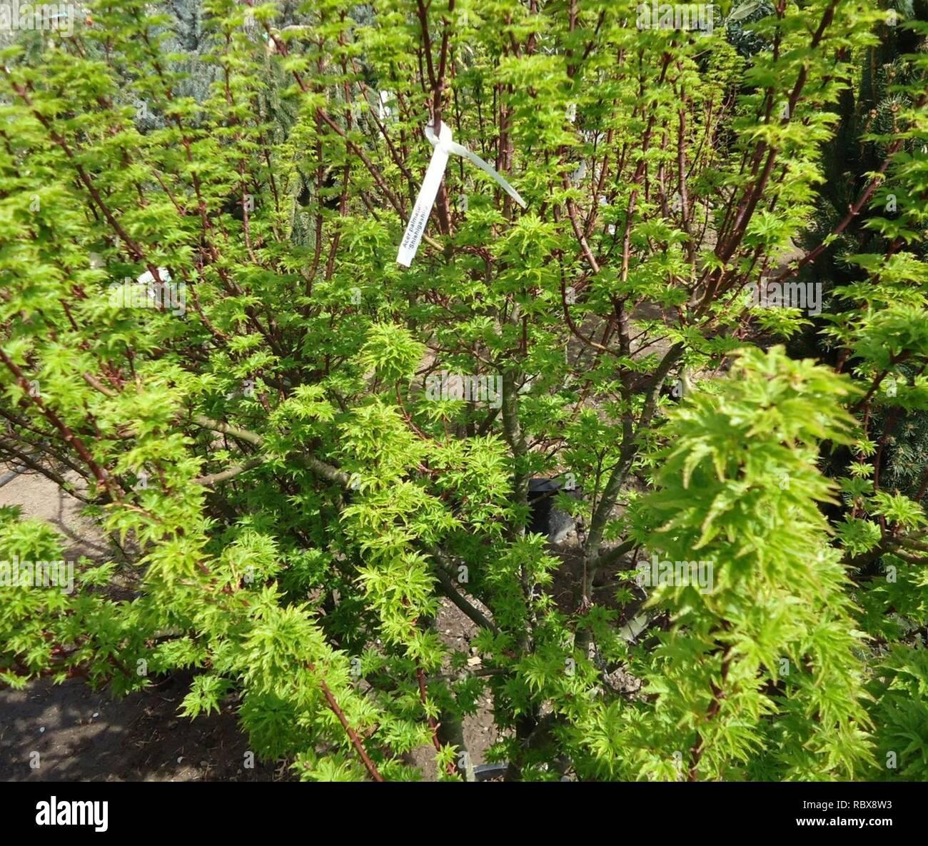 Acer palmatum 'Shishigashira' plants growing in NJ in April wideshot. - Stock Image