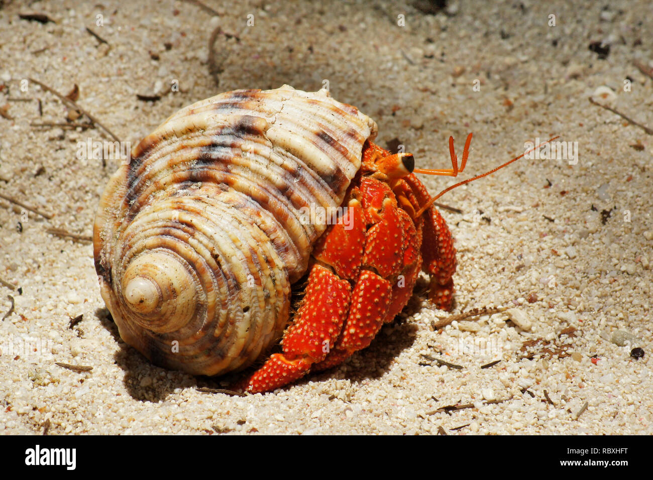 Close-up of a brightly red colored hermit crab (Coenobitidae) carrying a snail shell for protection on the beach - Location: Seychelles - Stock Image