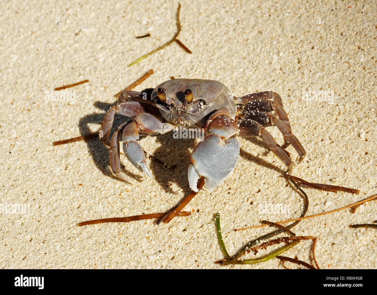 Close-up of a Gray-colored Ghost crab (Ocypode cordimanus) on the beach - Location: Seychelles Stock Photo