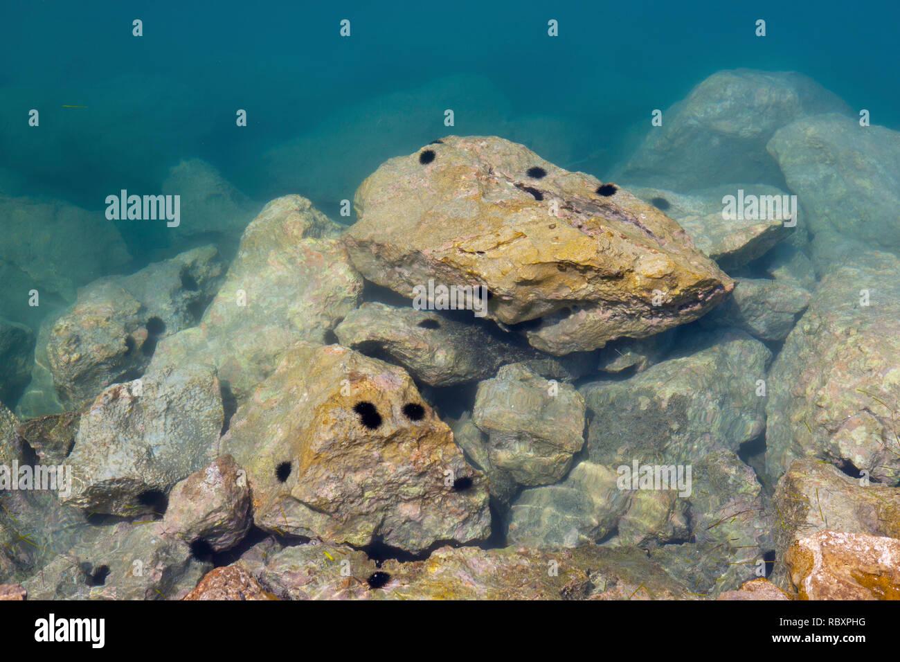Sea urchins on rocks in Poros marina, Kefalonia, Greece - Stock Image