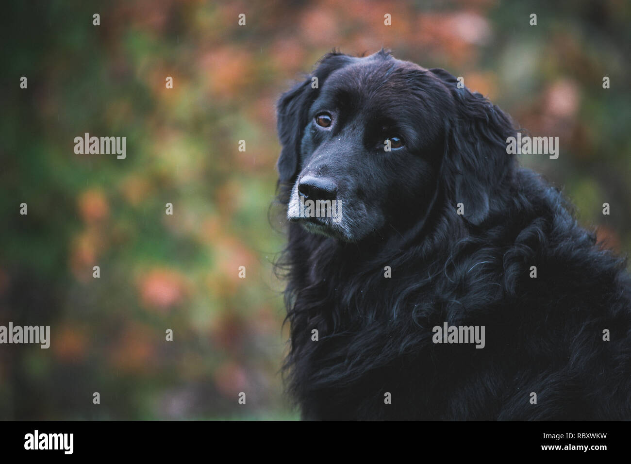 Head shot of sad dog with bokeh - Stock Image