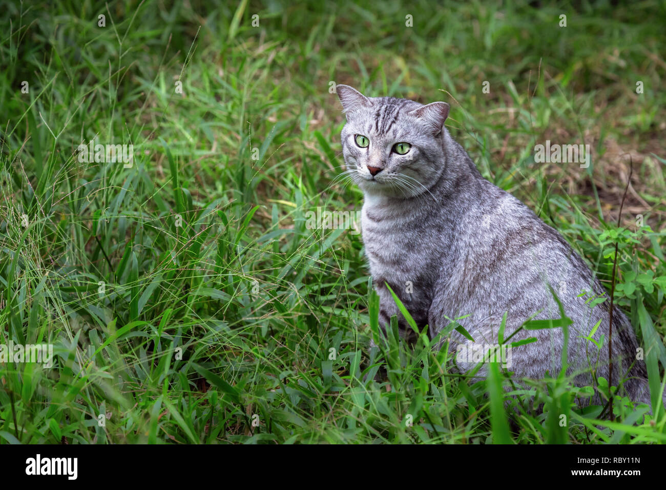young american shorthair cat sitting on the green grass and concentrate looking up for something in the garden in the morning. animal and pet lifestyl - Stock Image