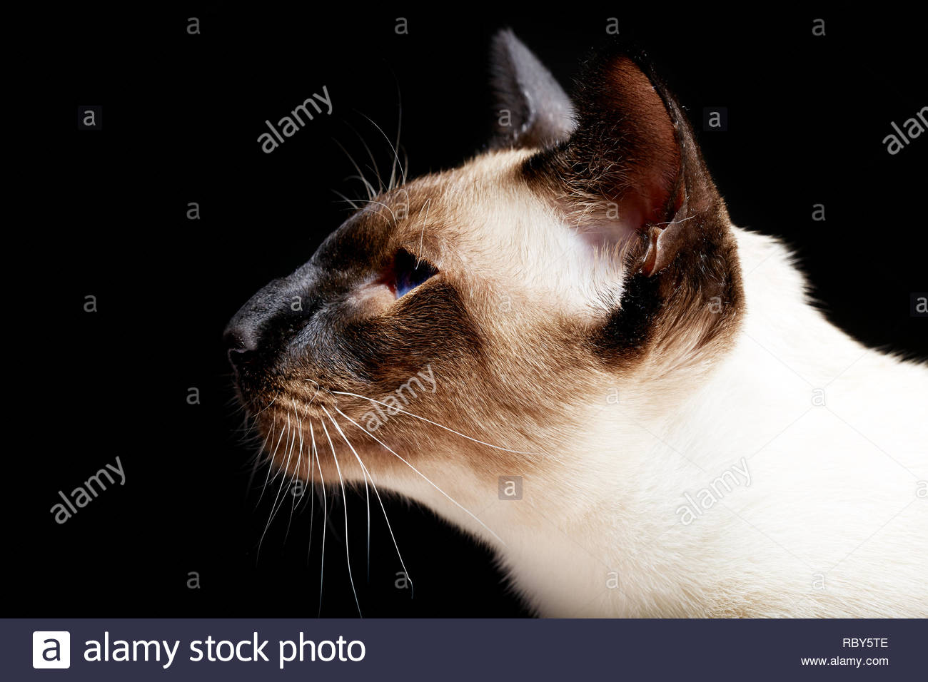 Siamese oriental blue-eyed cat - Stock Image
