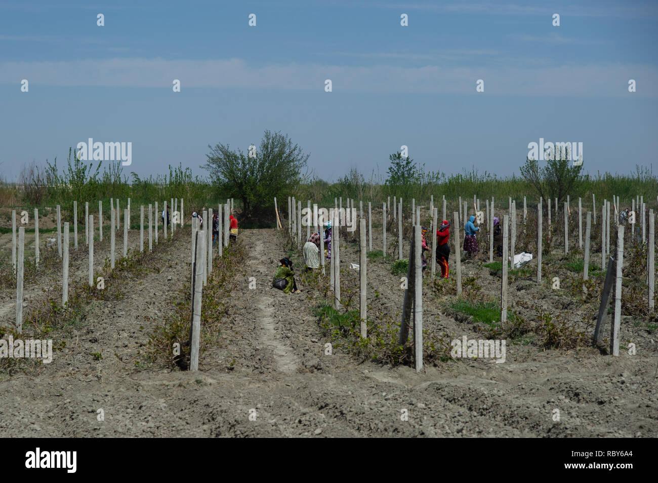 Uzbek farmers tend to roadside crops near Bukhara, Uzbekistan. Stock Photo