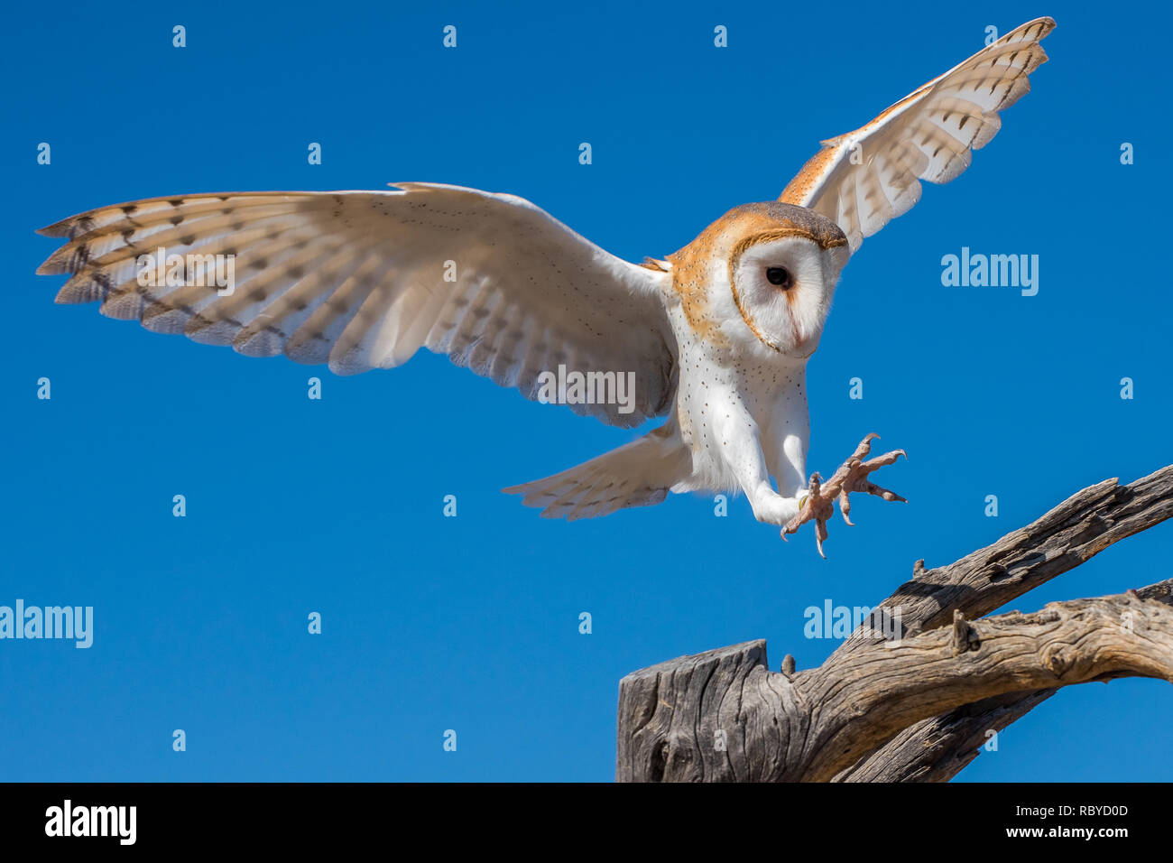 Barn Owl in Flight Preparing for a Landing on Bare Branches - Stock Image