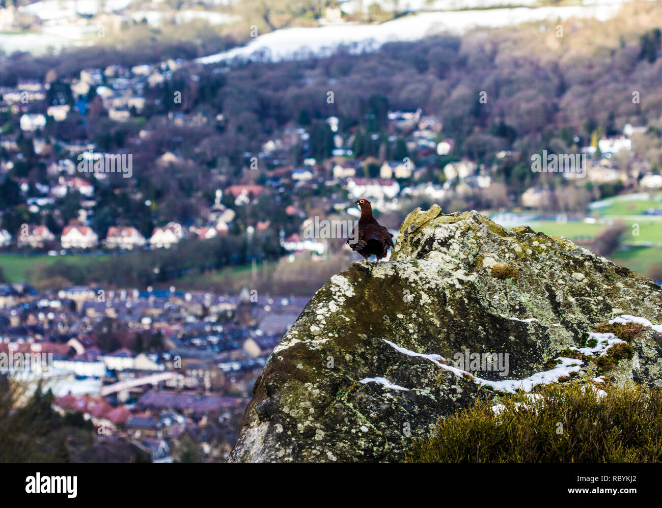Red Grouse (Lagopus lagopus) sitting on a rock overlooking Ilkley from Ilkley Moor, West Yorkshire - Stock Image