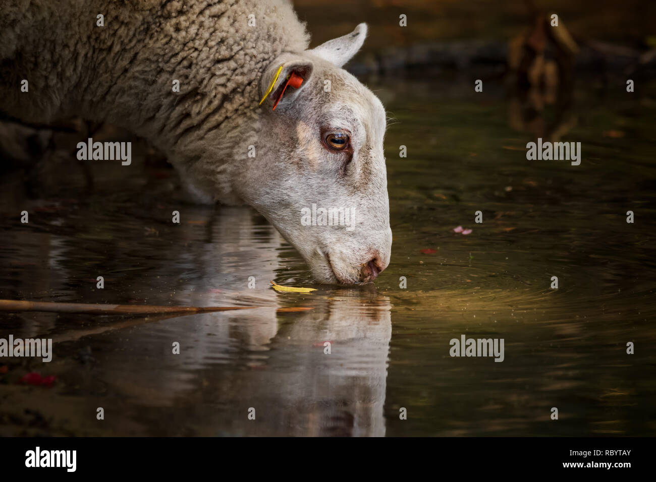 sheep by the watering hole in urban forest in stockholm - Stock Image
