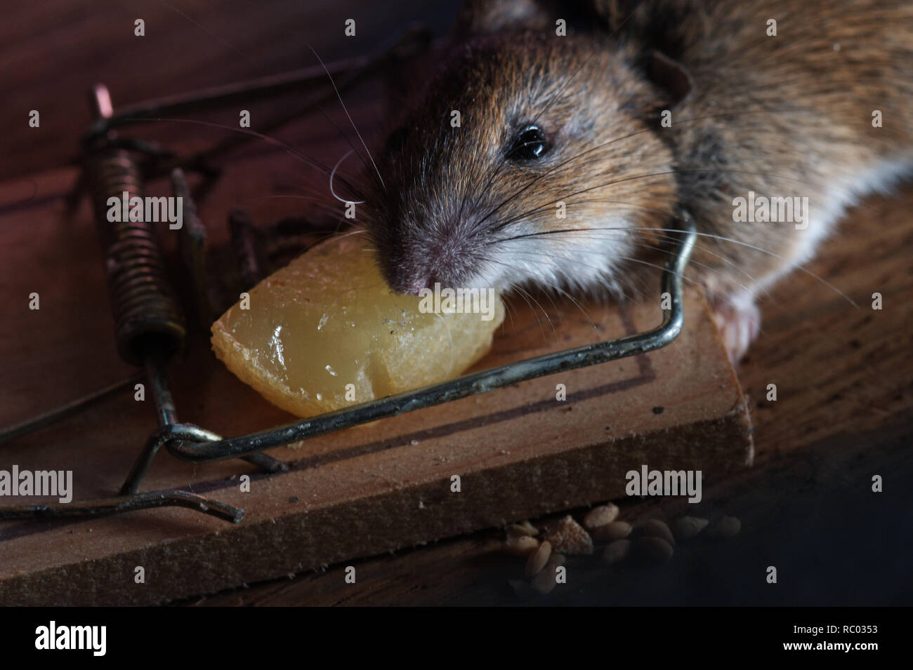 Maus in der Mausefalle gefangen   mouse caught in a mouse trap Stock Photo