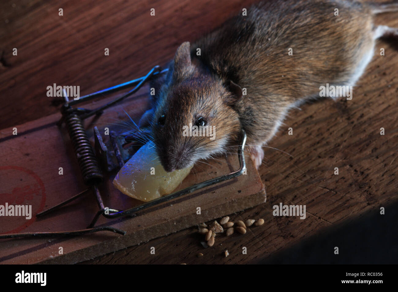 Maus in der Mausefalle gefangen | mouse caught in a mouse trap Stock Photo