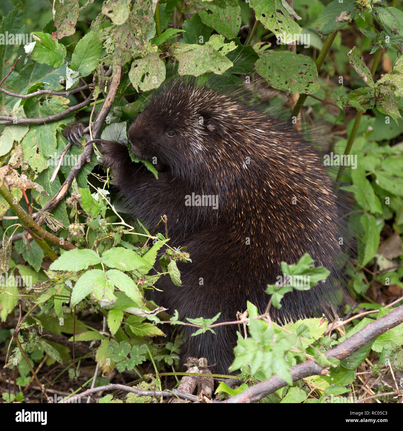 A porcupine forages for food in Forillon National Park on the Gaspé Peninsula of Quebec, Canada. The mammal eats leaves. Stock Photo