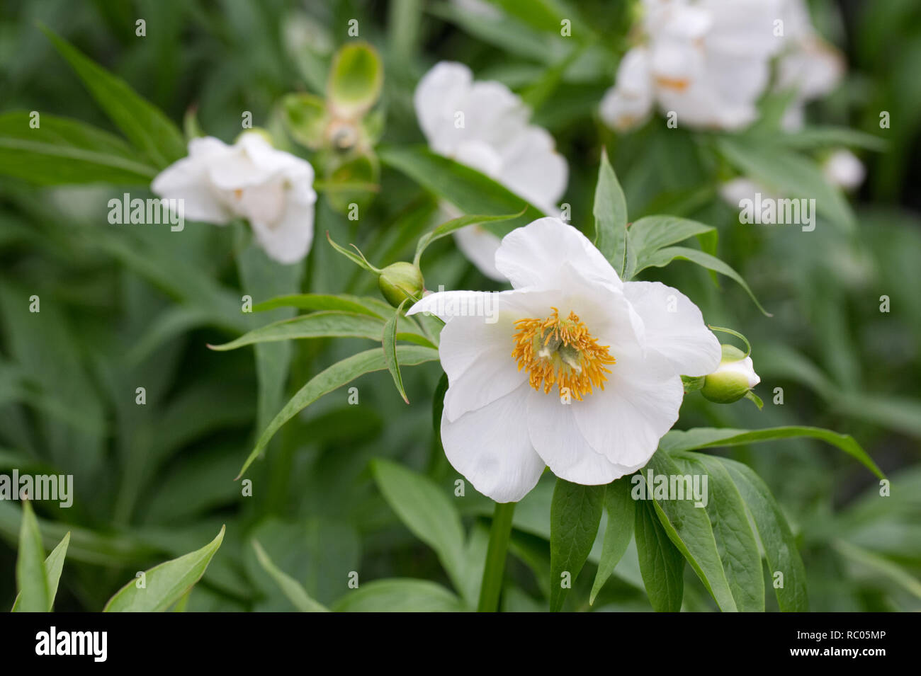 Paeonia emodi flowers in Spring. Stock Photo