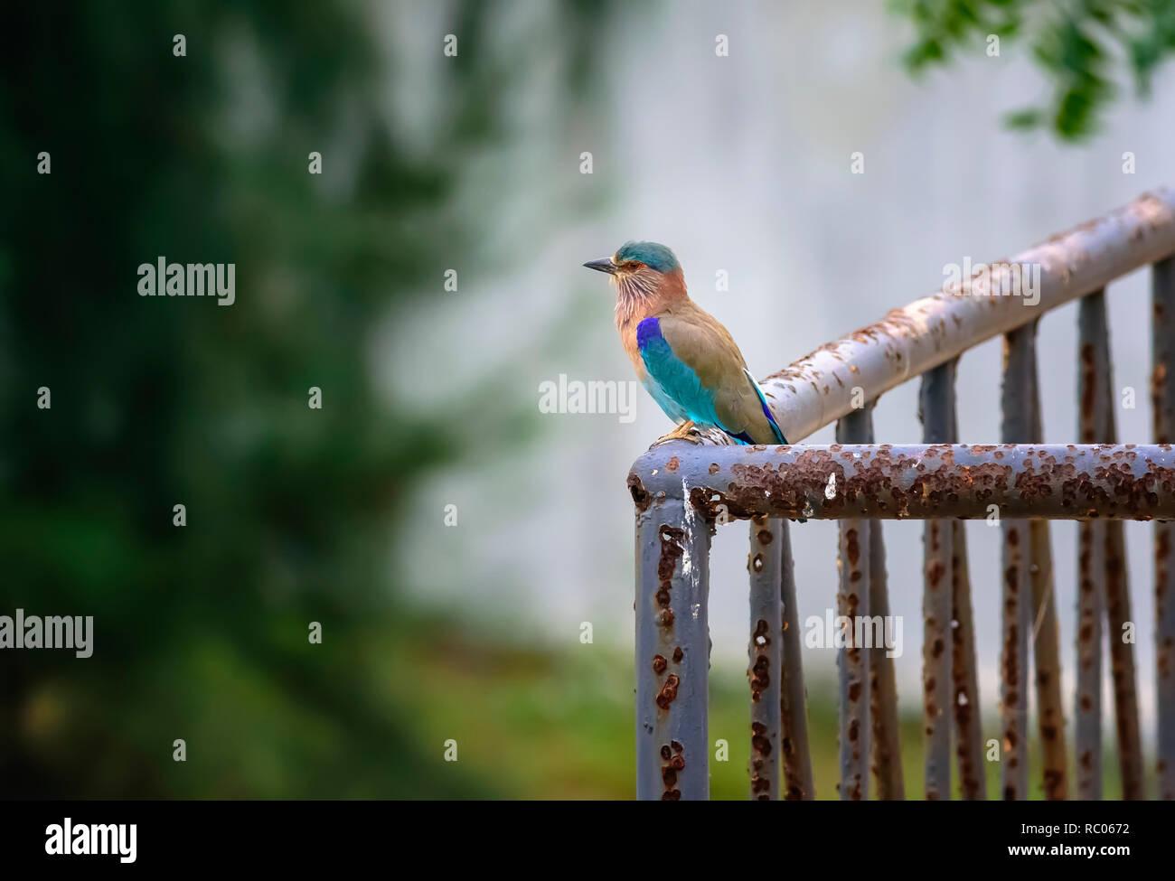 Medium sized bird, Indian Roller, Coracias benghalensis with copy space - Stock Image