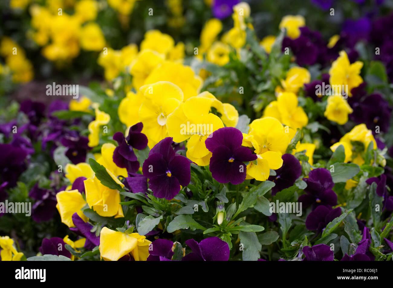 Viola x wittrockiana  flowers. - Stock Image
