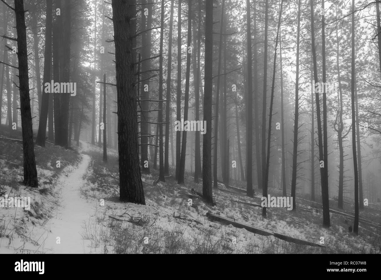 Black and white forest in the fog - Stock Image