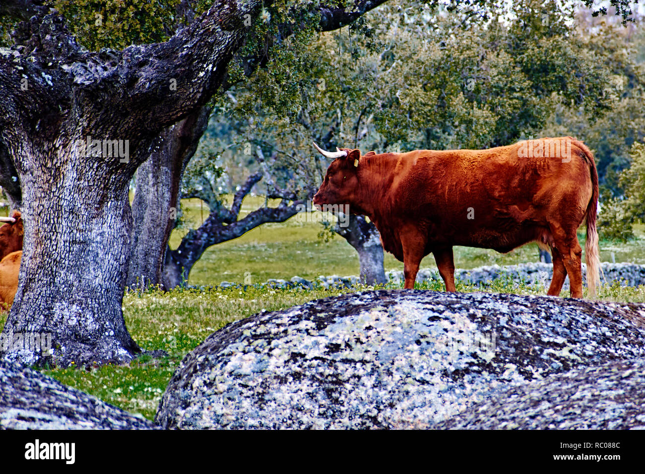 Cow grazing in a lost place in the mountain - Stock Image