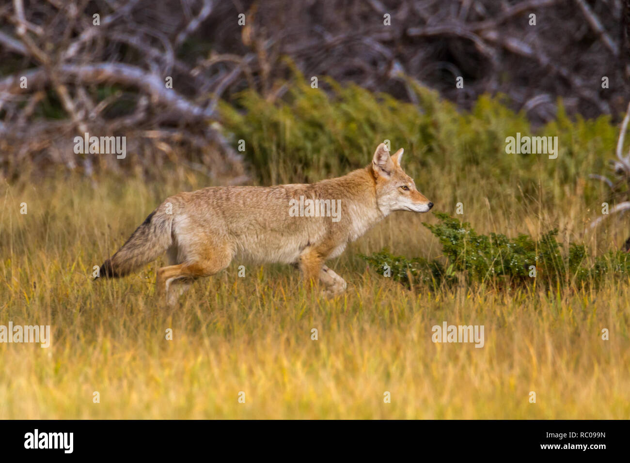 Side view of wild coyote moving through grass near trees as it travels in Banff National Park in evening light. - Stock Image