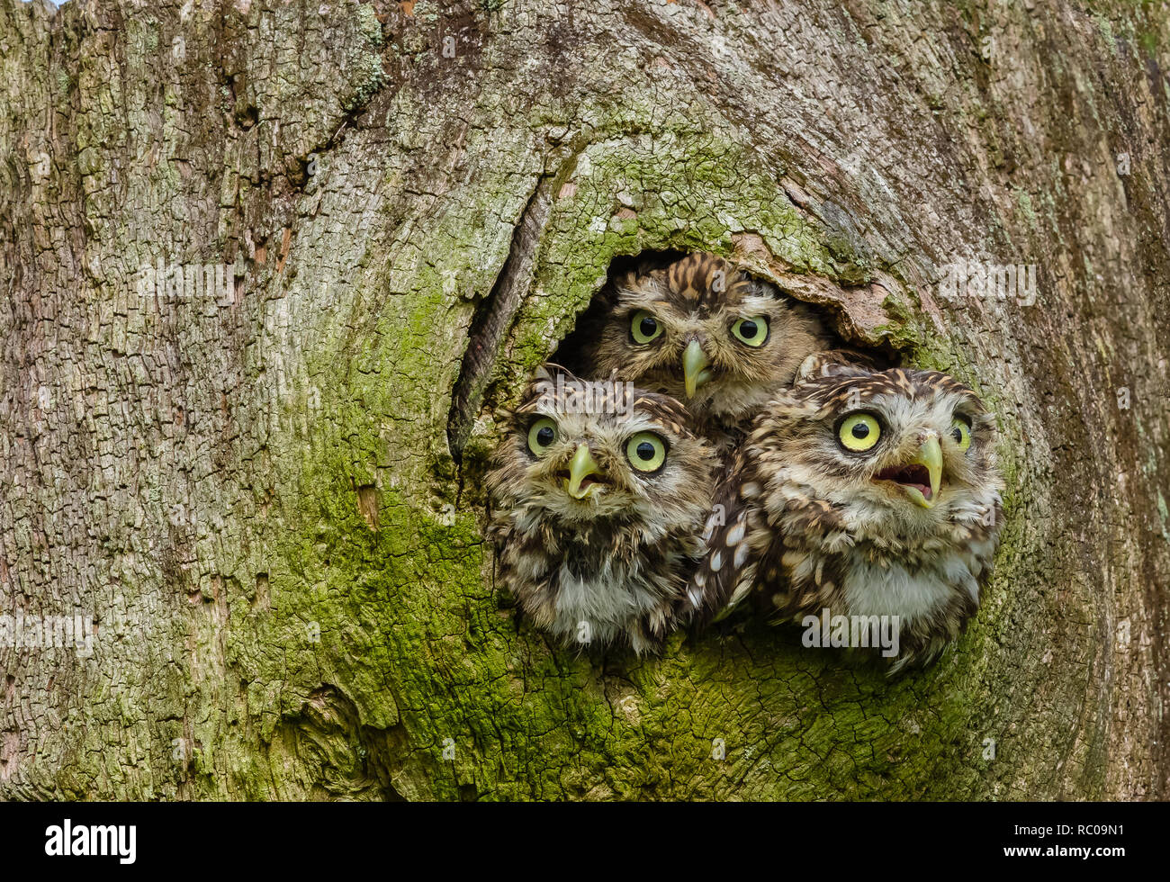 Little Owls in a tree trunk. Three Little Owls in the hollow of a tree.  Little Owl is the name of the species and not the size of the owl. - Stock Image