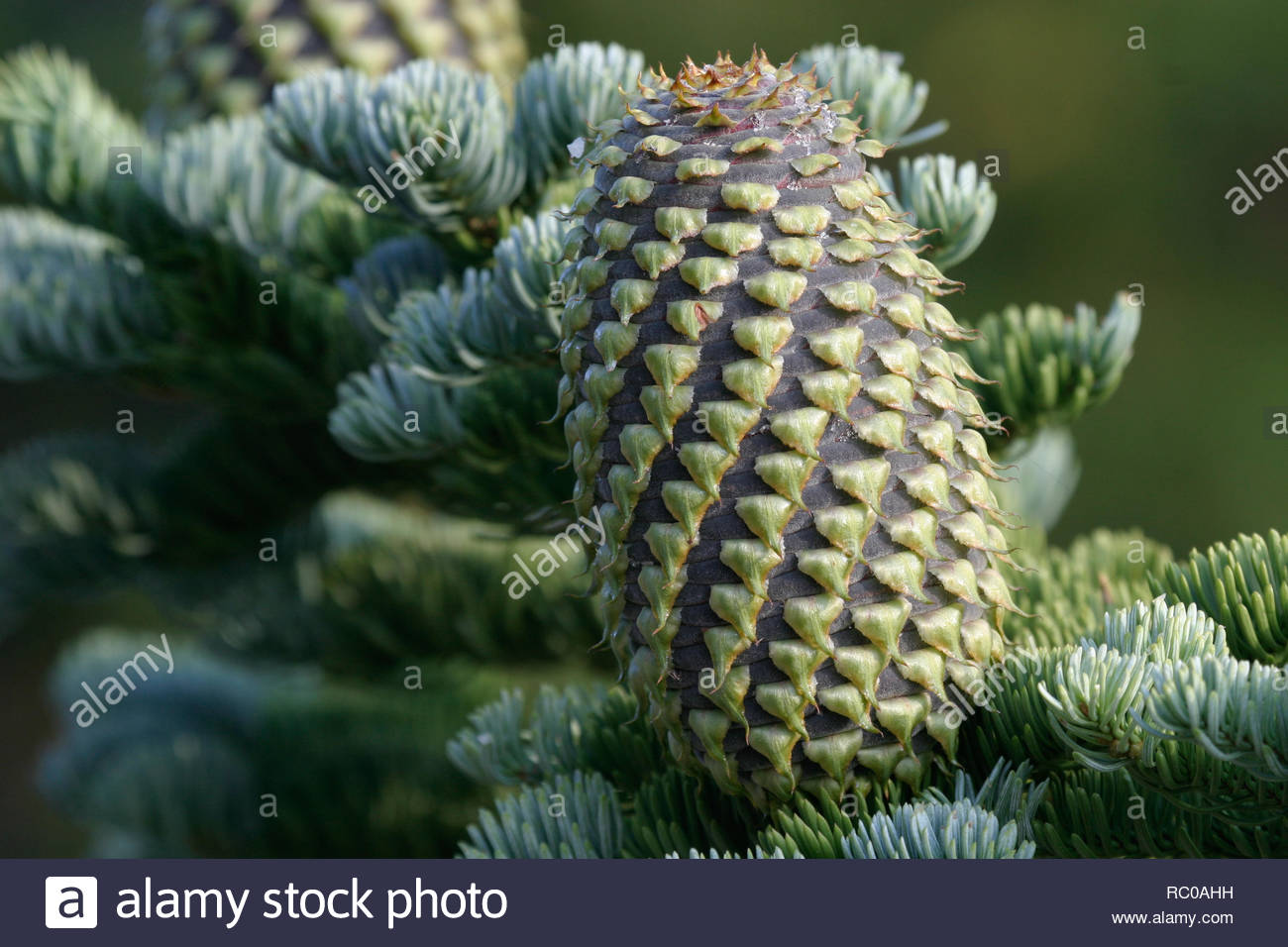 Shasta red fir (Abies magnifica), Crater Lake National Park, Oregon, USA - Stock Image