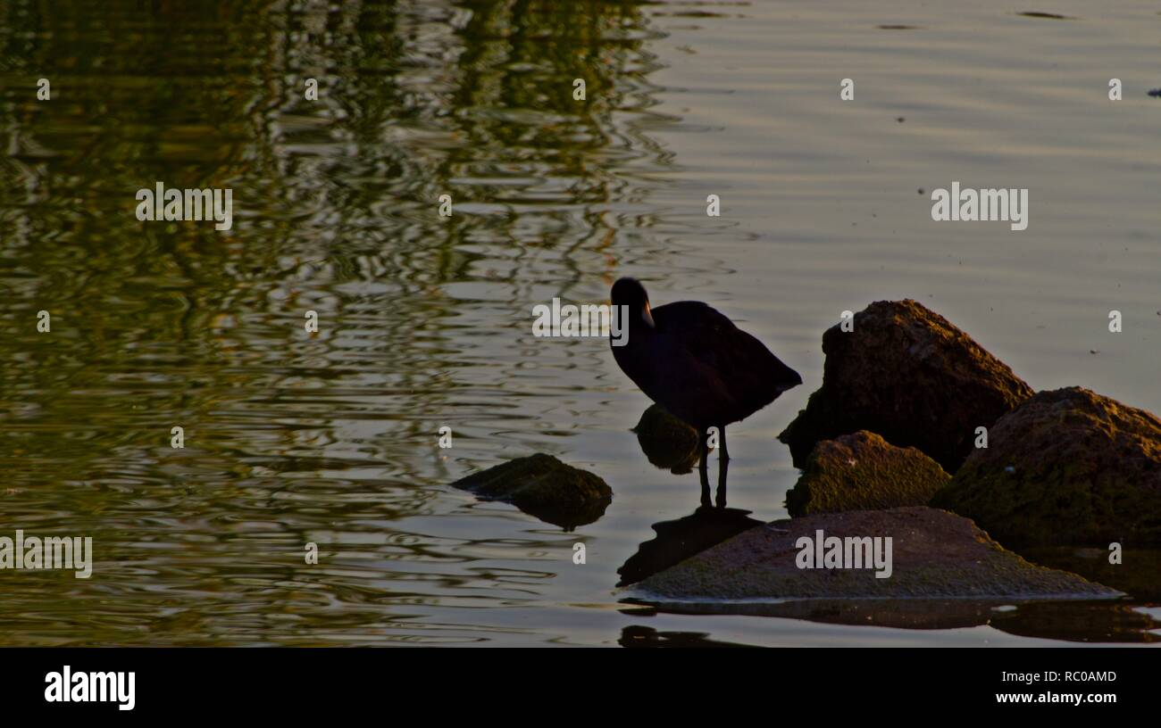 American Coot Standing on Rock Pile in Lindsey City Park Public Fishing Lake, Canyon, Texas. - Stock Image