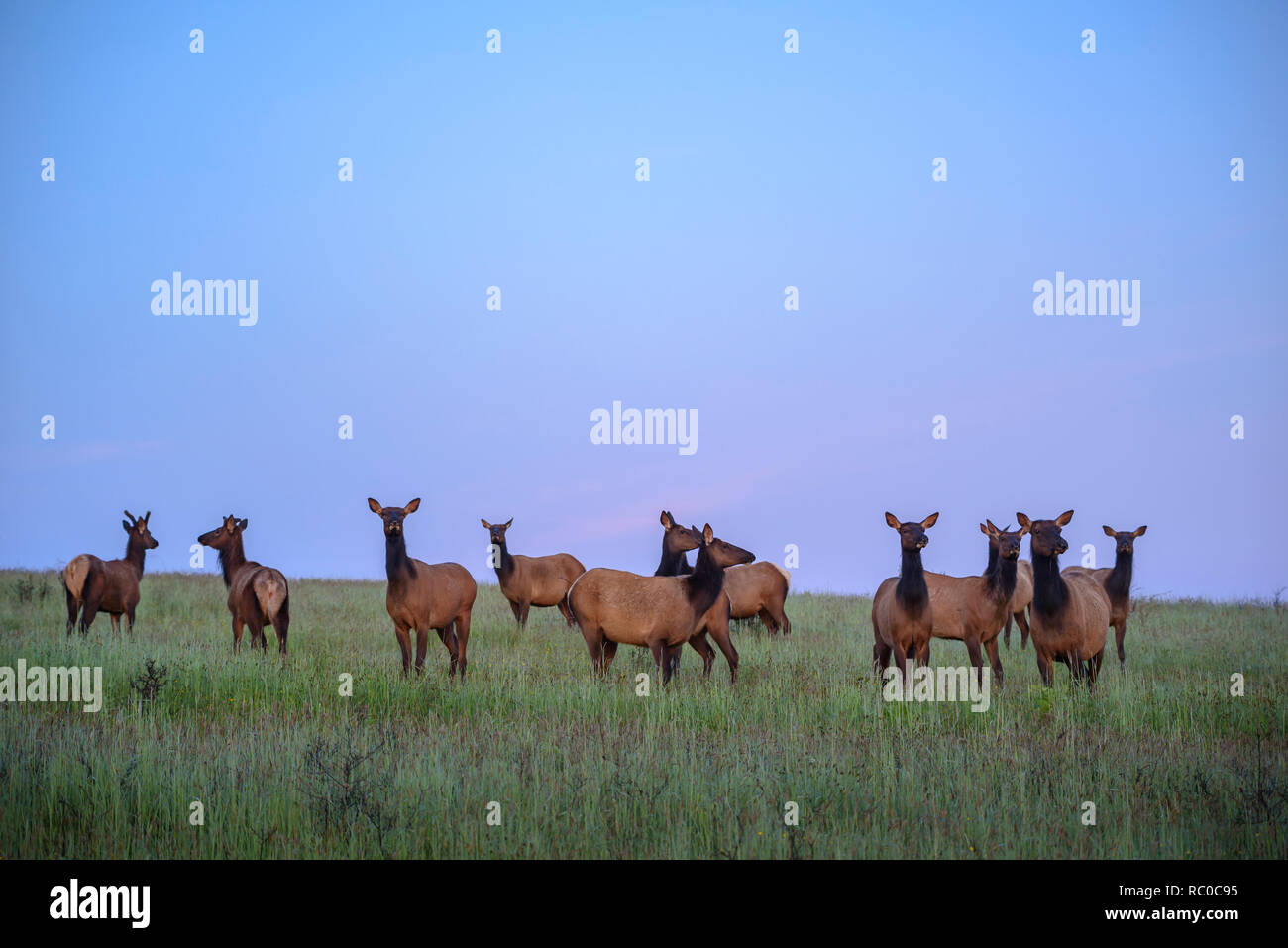 Roosevelt Elk in prairie at Bald Hills Road, Redwoods National and State Parks, California. - Stock Image