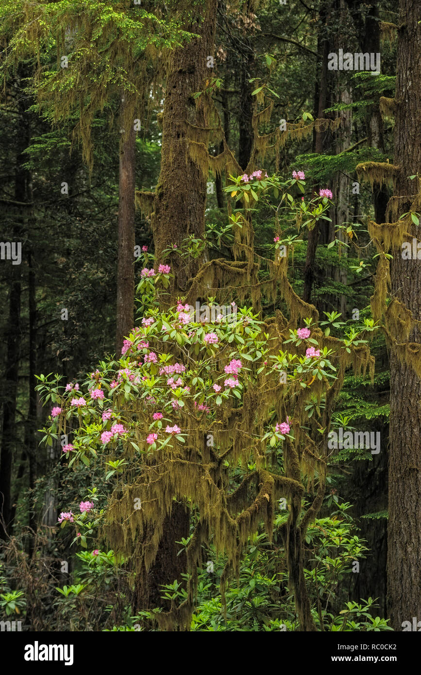 Rhododendron blooming among redwood trees along Howland Hill Road, Jedediah Smith Redwoods State Park, California. - Stock Image