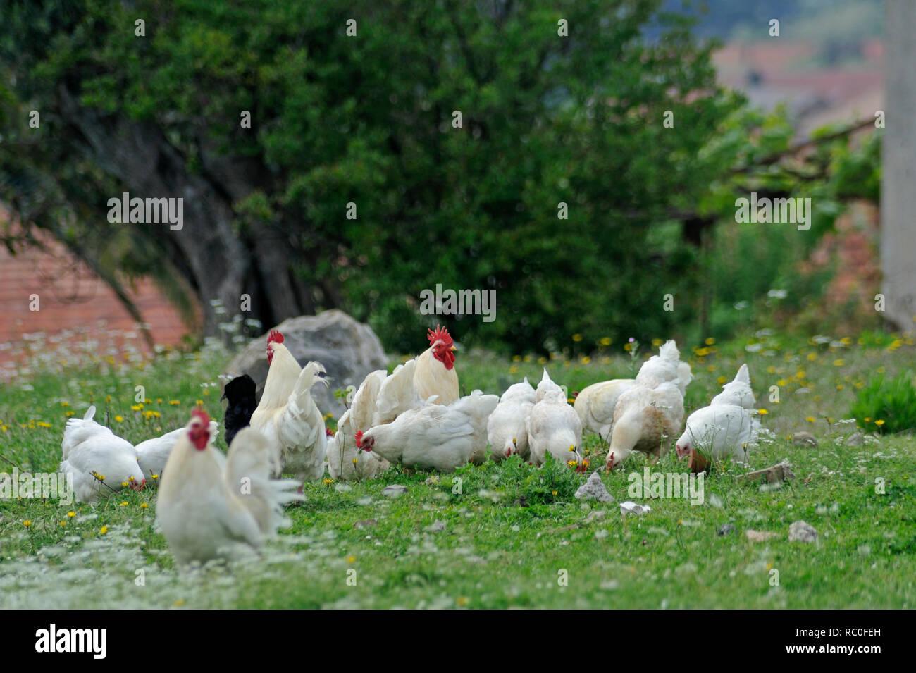 Haushuhn, Gallus gallus f.domesticus, Hühner und Hähne in freier Natur | domestic fowl, Gallus gallus f. domesticus, poultry in natural surroundings - Stock Image