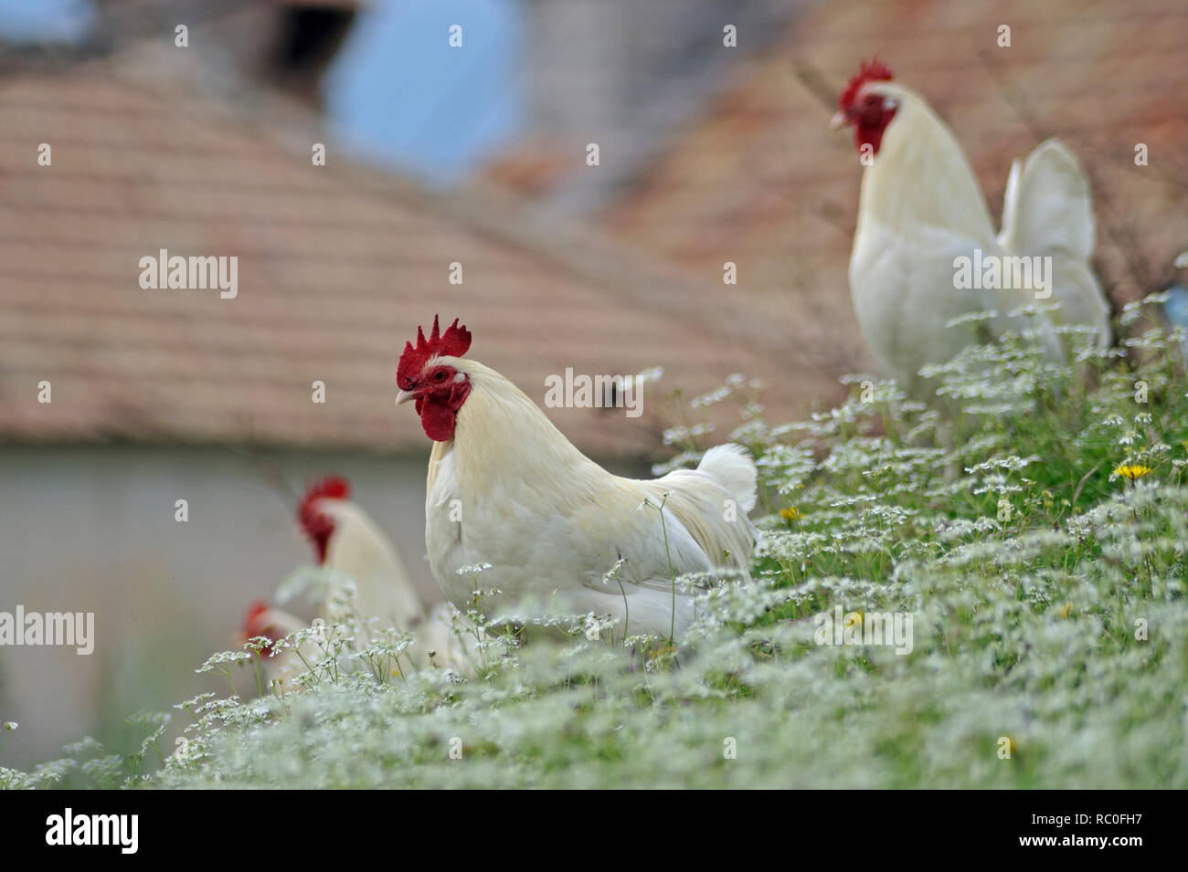 Haushuhn, Gallus gallus f.domesticus, Hühner in freier Natur | domestic fowl, Gallus gallus f. domesticus, poultry in natural surroundings - Stock Image