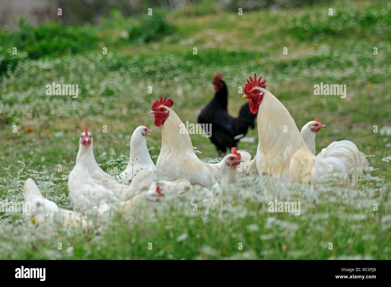 Haushuhn, Gallus gallus f.domesticus, Hühner und Hähne in freier Natur | Gallus gallus f. domesticus, poultry in natural surroundings - Stock Image