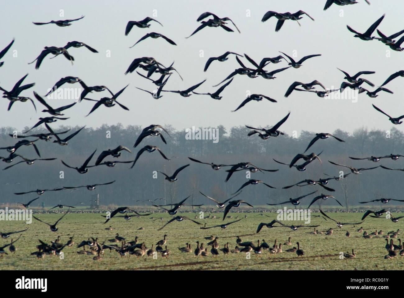 Wildgänse auf dem Darss, Fischland-Darss-Zingst, Mecklenburg-Vorpommern, Deutschland, Europa   wild geese, Fischland-Darss-Zingst, Mecklenburg-Vorpomm Stock Photo