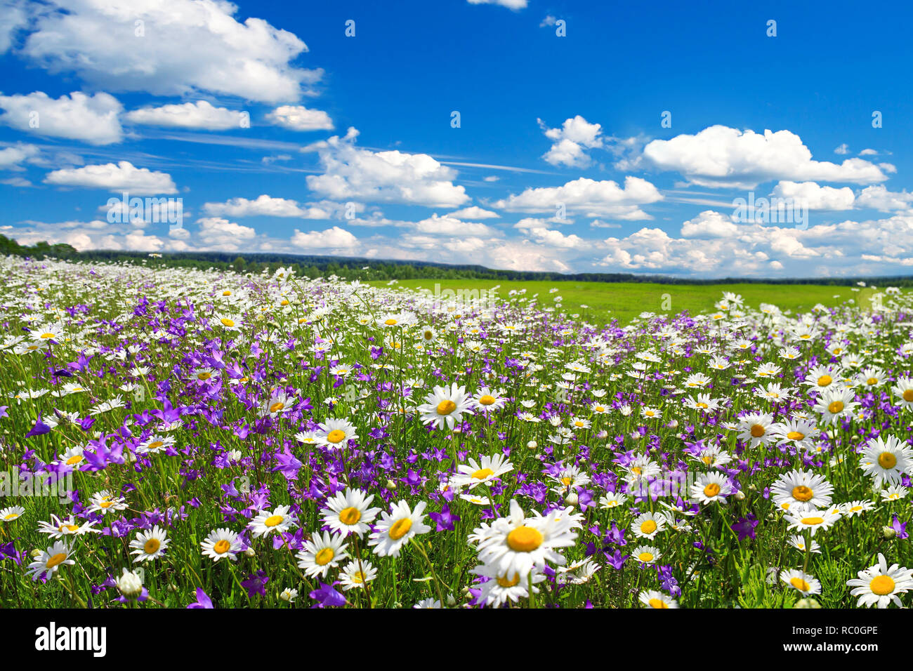Spring Landscape With Flowering Flowers On Meadow White Chamomile