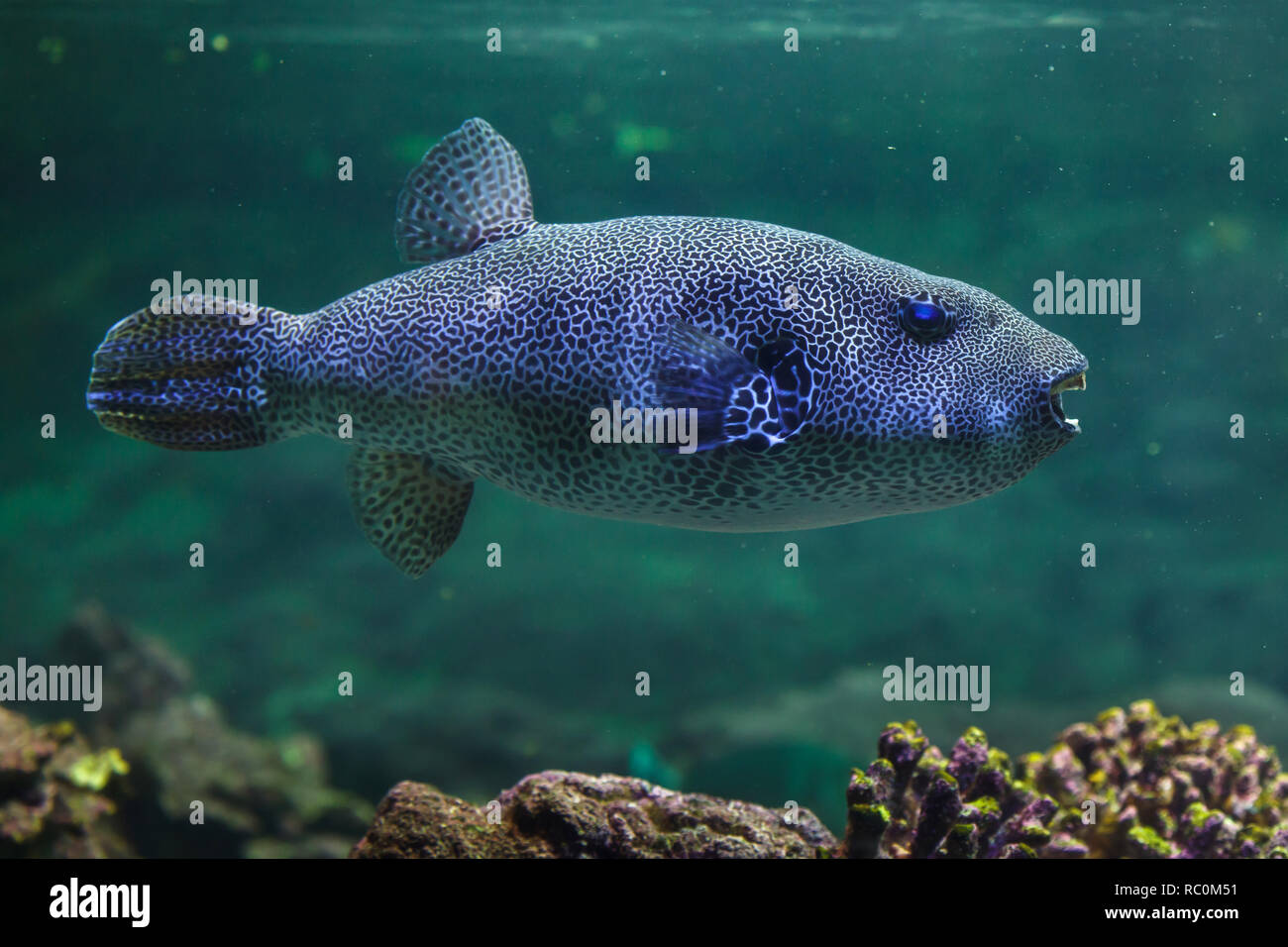 Stellate puffer (Arothron stellatus), also known as the starry toadfish. Stock Photo