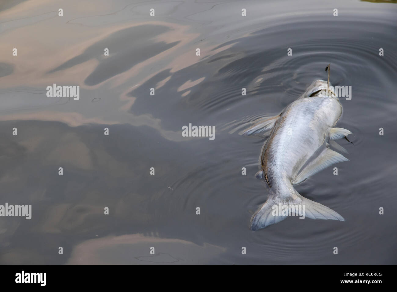 Dead Fish Floating In The Waste Water Background Stock Photo Alamy