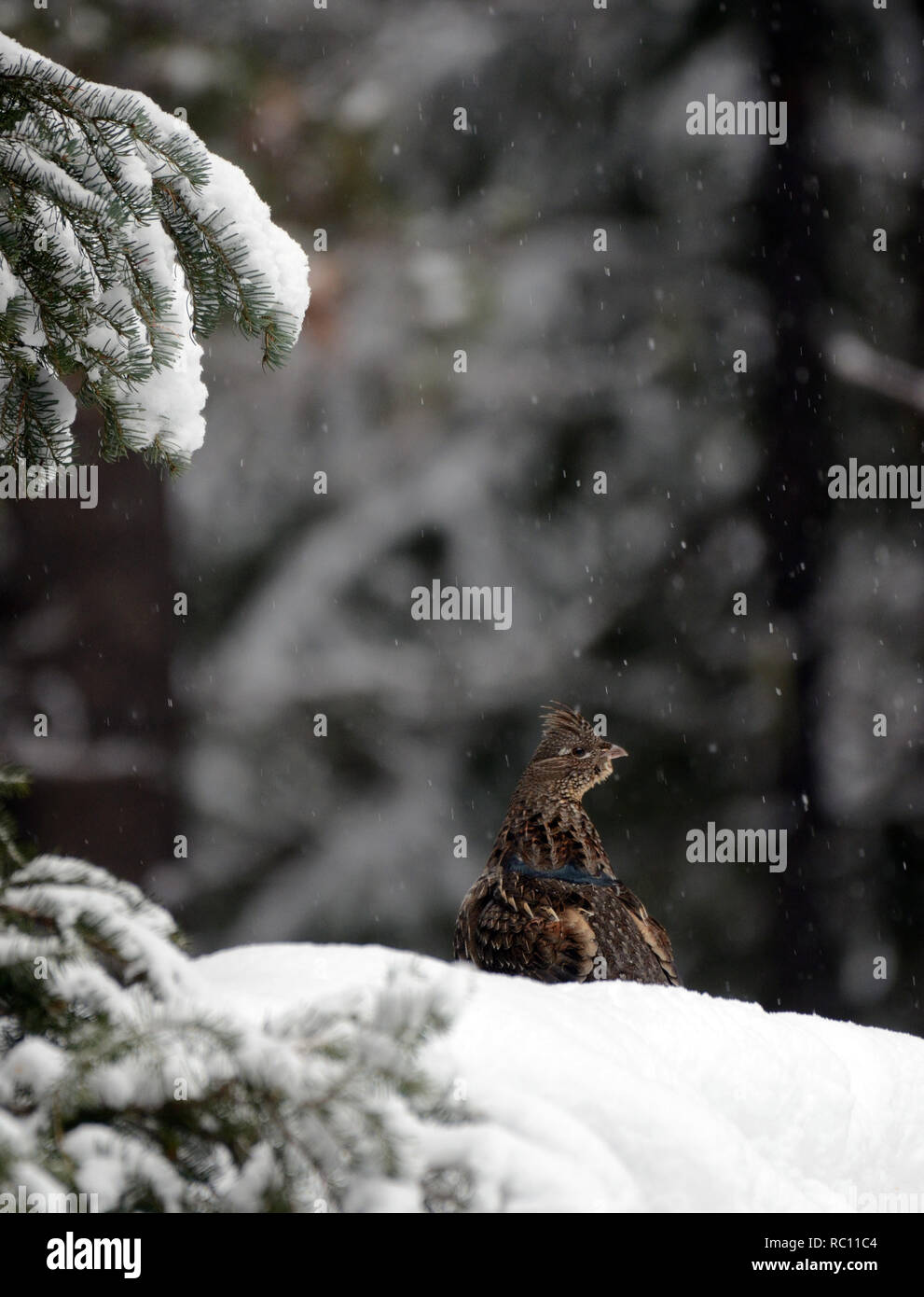 Ruffed grouse in a conifer forest during a snowstorm in winter. Yaak Valley in the Purcell Mountains, northwest Montana. - Stock Image