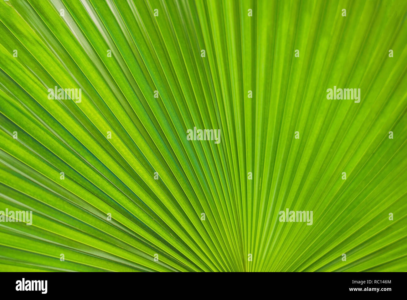 Green Footstool Palm Leaf through which the sun shines through - Stock Image