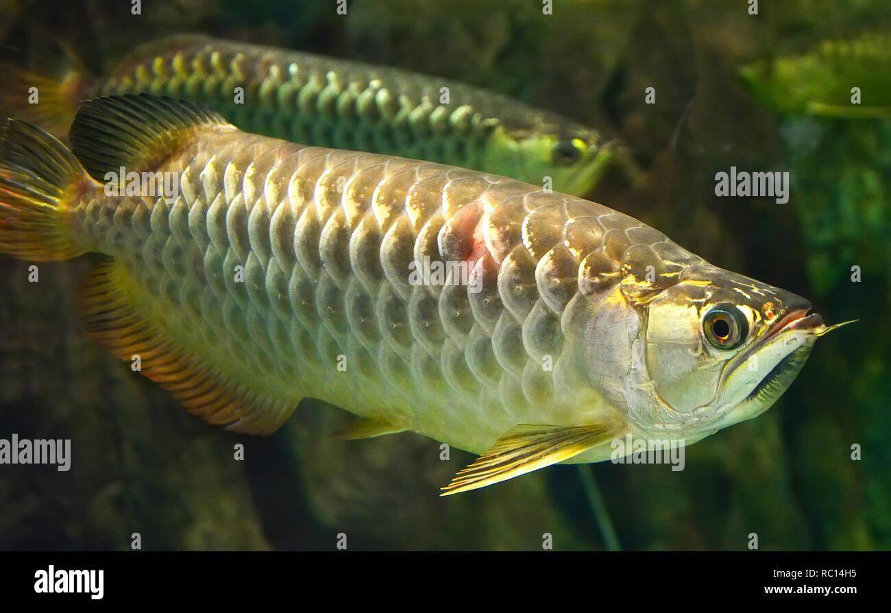 Dragon Gold Fish Stock Photos Amp Dragon Gold Fish Stock