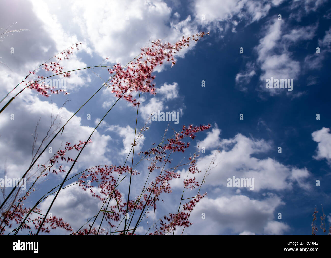 Flower of Natal redtop ruby grass in the bright sunlight and fluffy clouds in blue sky - Stock Image