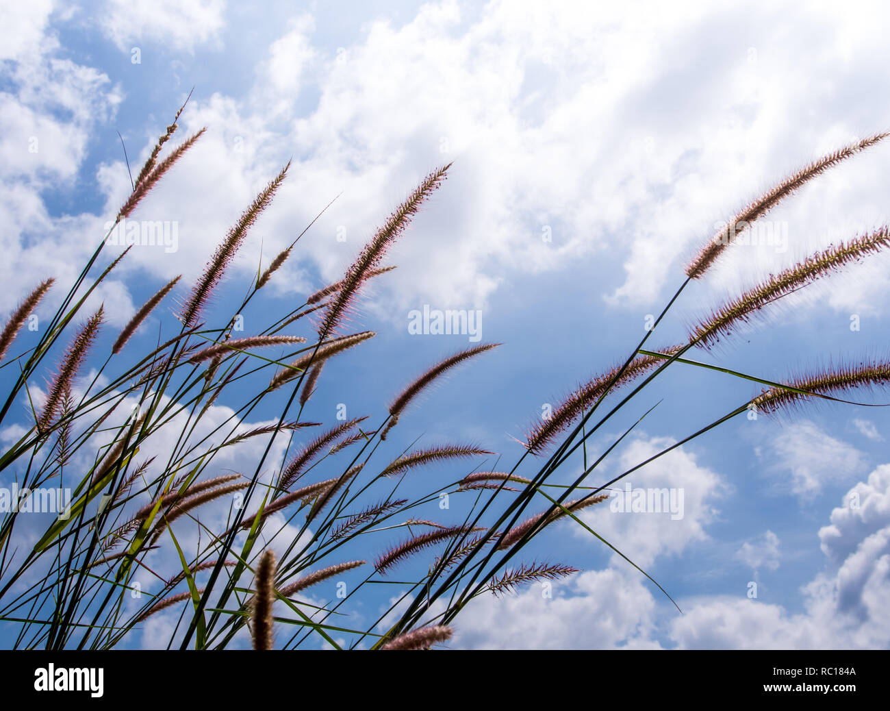 Flower of Napier Elephant grass and the fluffy clouds in blue sky - Stock Image