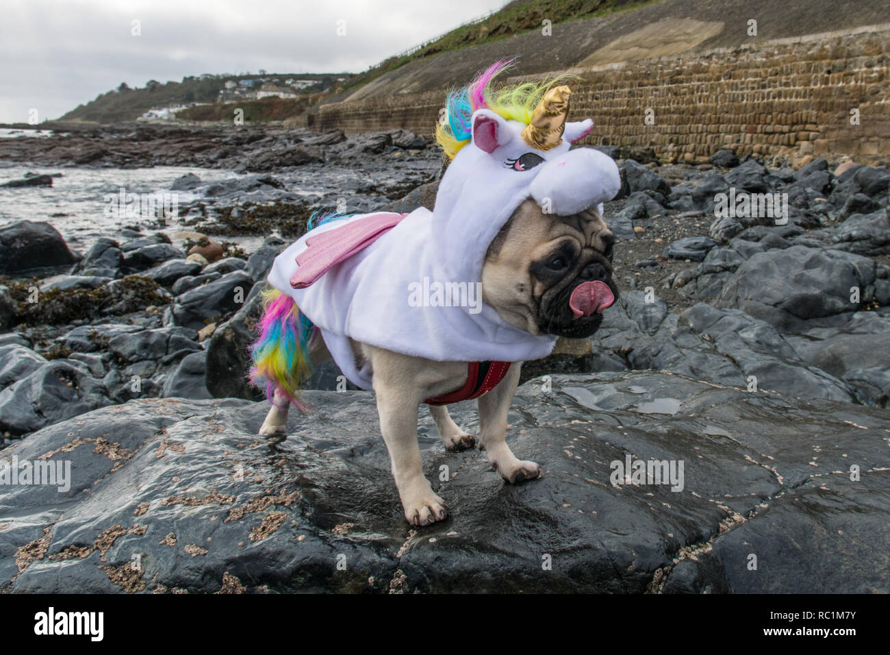 Pug dog dressed in a Unicorn outfit on rocks at Mousehole, Cornwall for national dress your dog day. Stock Photo