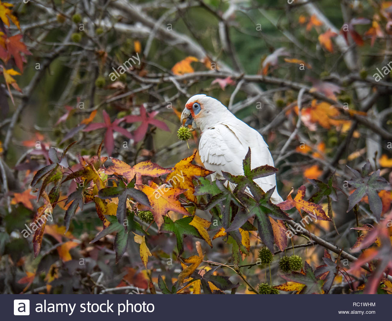 Corella eating seeds in trees, Melbourne, Vic - Stock Image