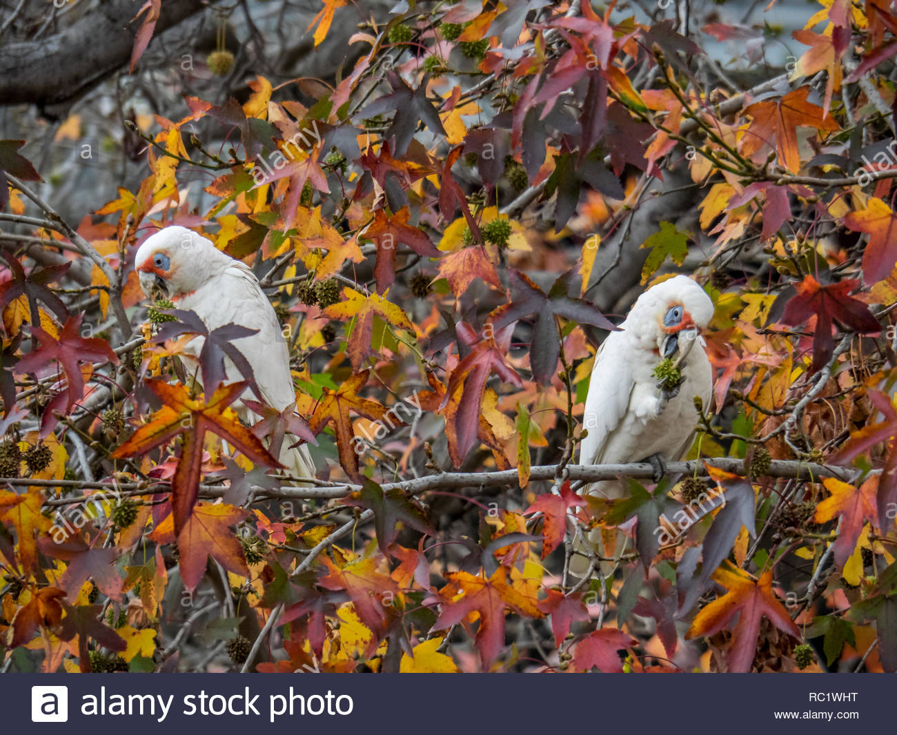 Corellas eating seeds in trees, Melbourne, Vic - Stock Image
