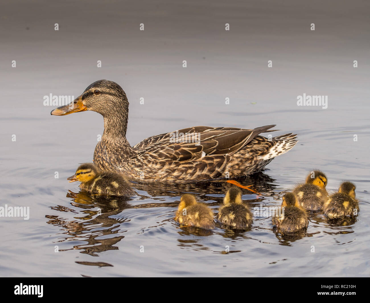 Mallard Ducklings and mom - Stock Image