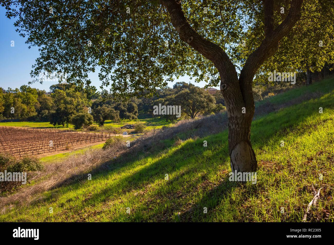 Vineyard of the Santa Maria valley, California. Stock Photo