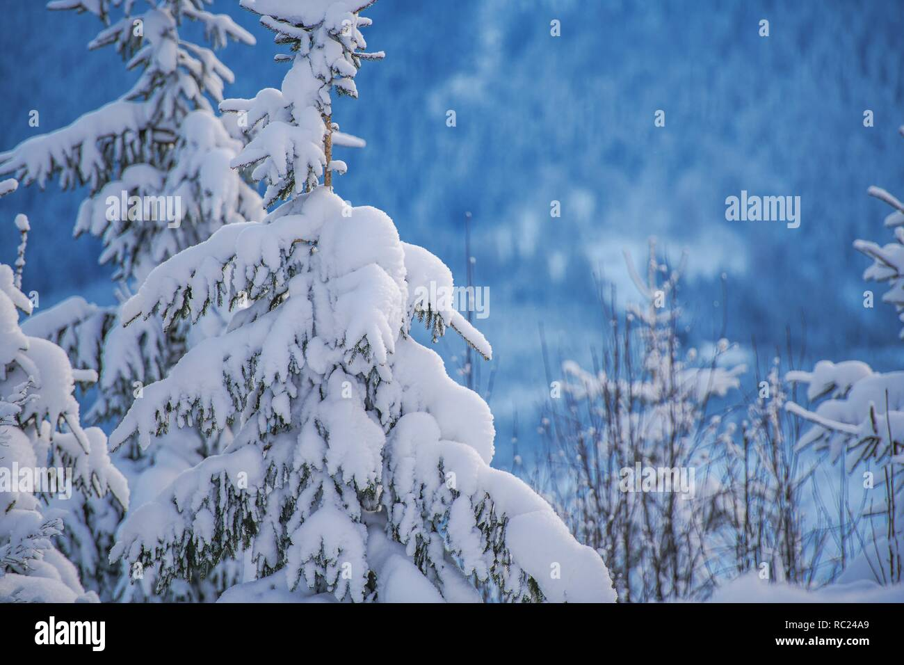 Winter Mountains Foliage. Young Spruces Covered by Heavy Snow. - Stock Image